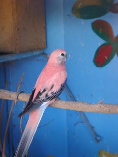cara ternak burung parkit   dunia binatang