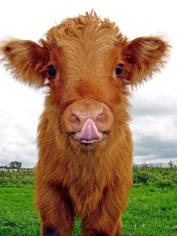 cute cow, funny animal pictures, animal pics