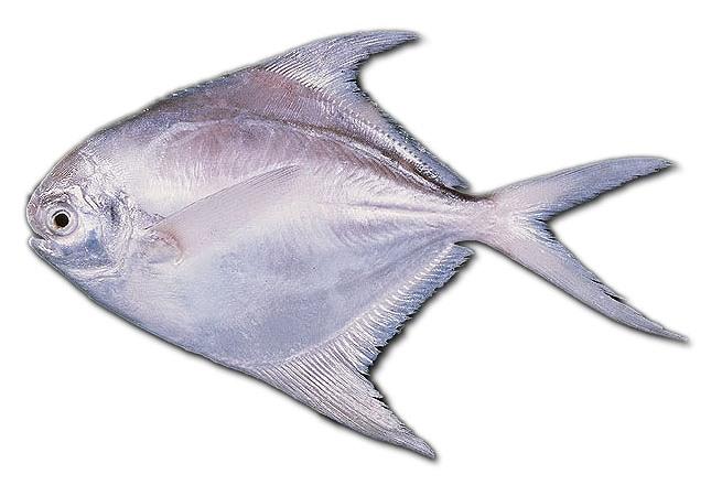 Blog Budidaya Ikan Bawal