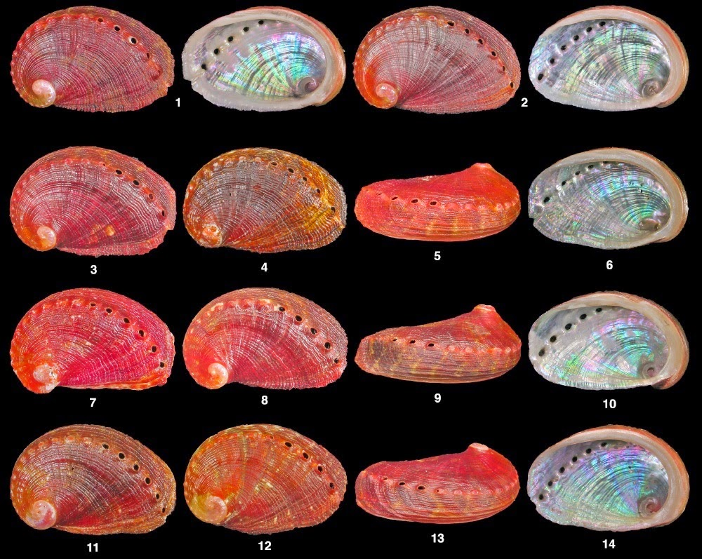 http://sciencythoughts.blogspot.co.uk/2014/07/a-new-species-of-abalone-from-sao-tome.html