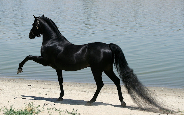horses+wallpapers+%25284%2529