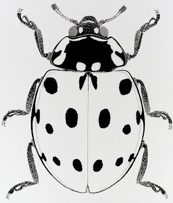 Coleoptera, Coccinellidae, ladybird, beetle, drawing