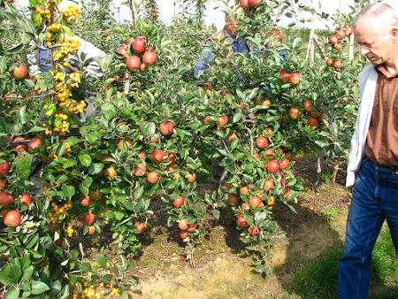 saksılı bodur elma