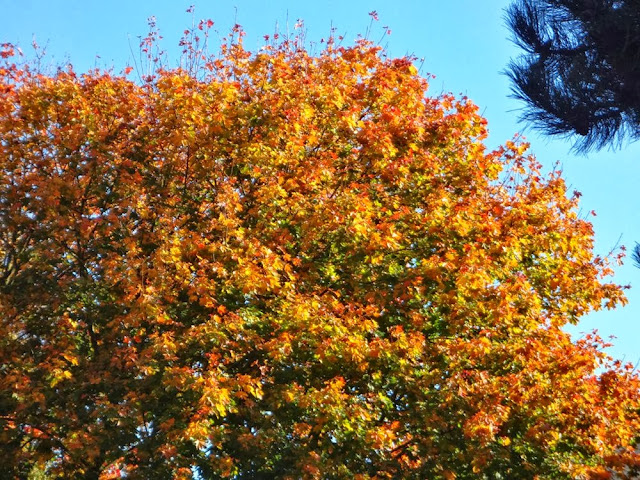 Orange foliage, fall, Vancouver