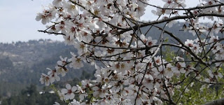picture of almond tree blossoms in Israel