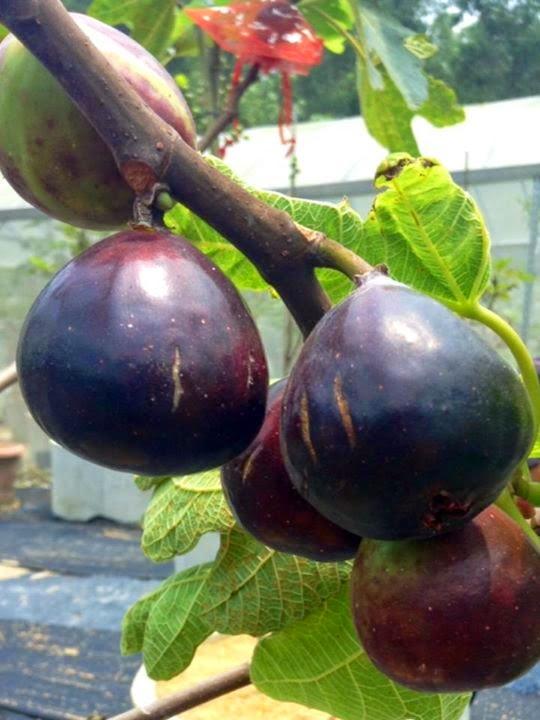 Figs : MANRESA of Balearic Island