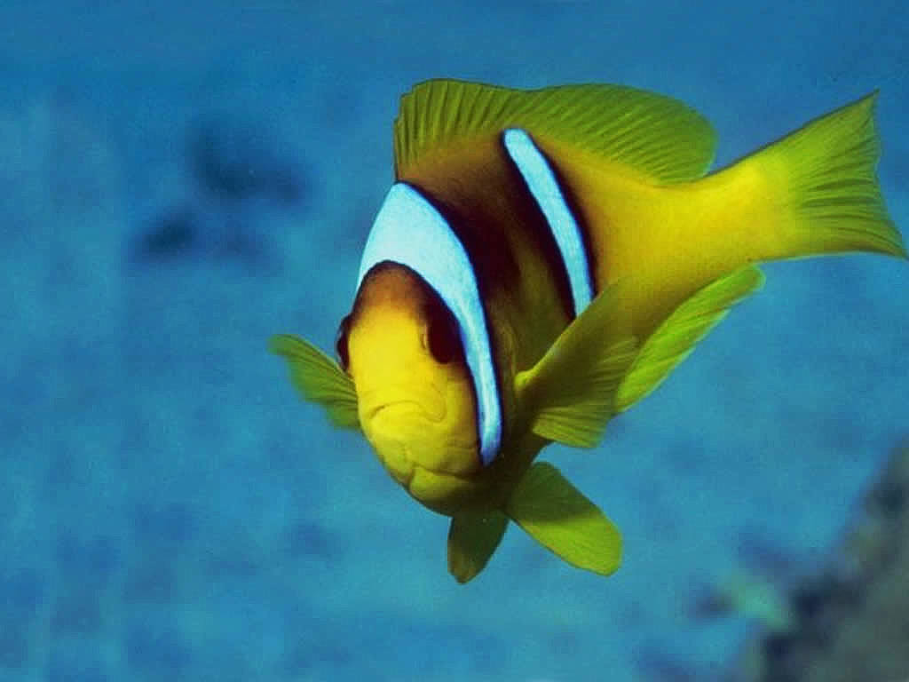 Desktop wallpapers animals wallpapers flowers wallpapers for Tropical pet fish