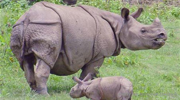animal: Javan Rhino