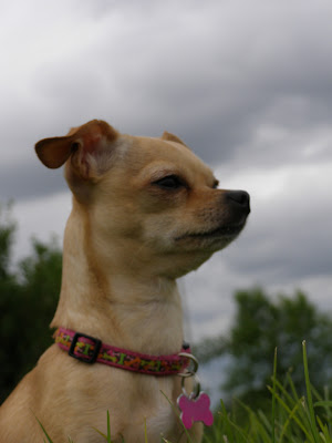 chihuahua-dog-collars