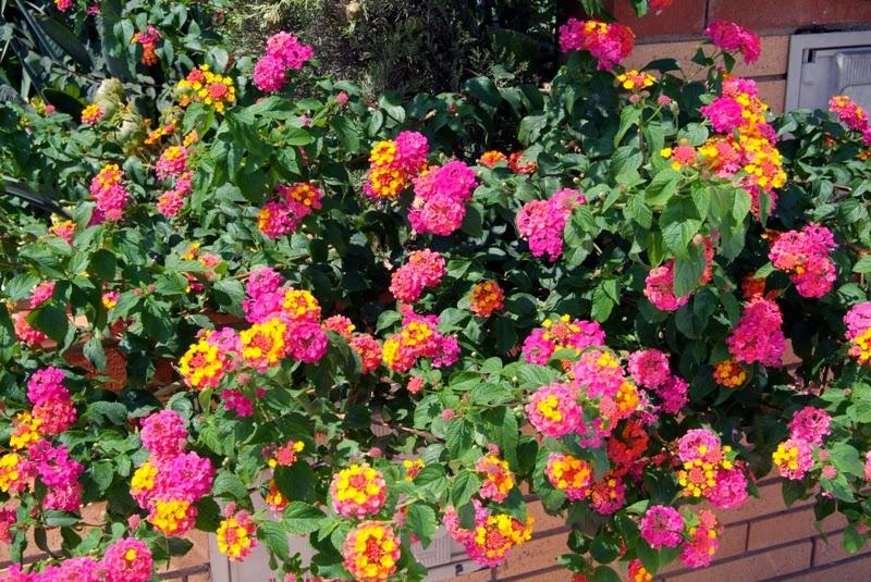 Arbustos peque os colecci n de hojas y flores for Arbustos jardin pequeno
