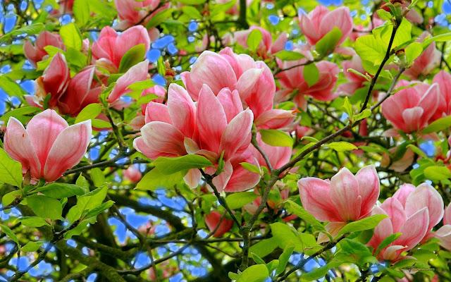Bunga Magnolia