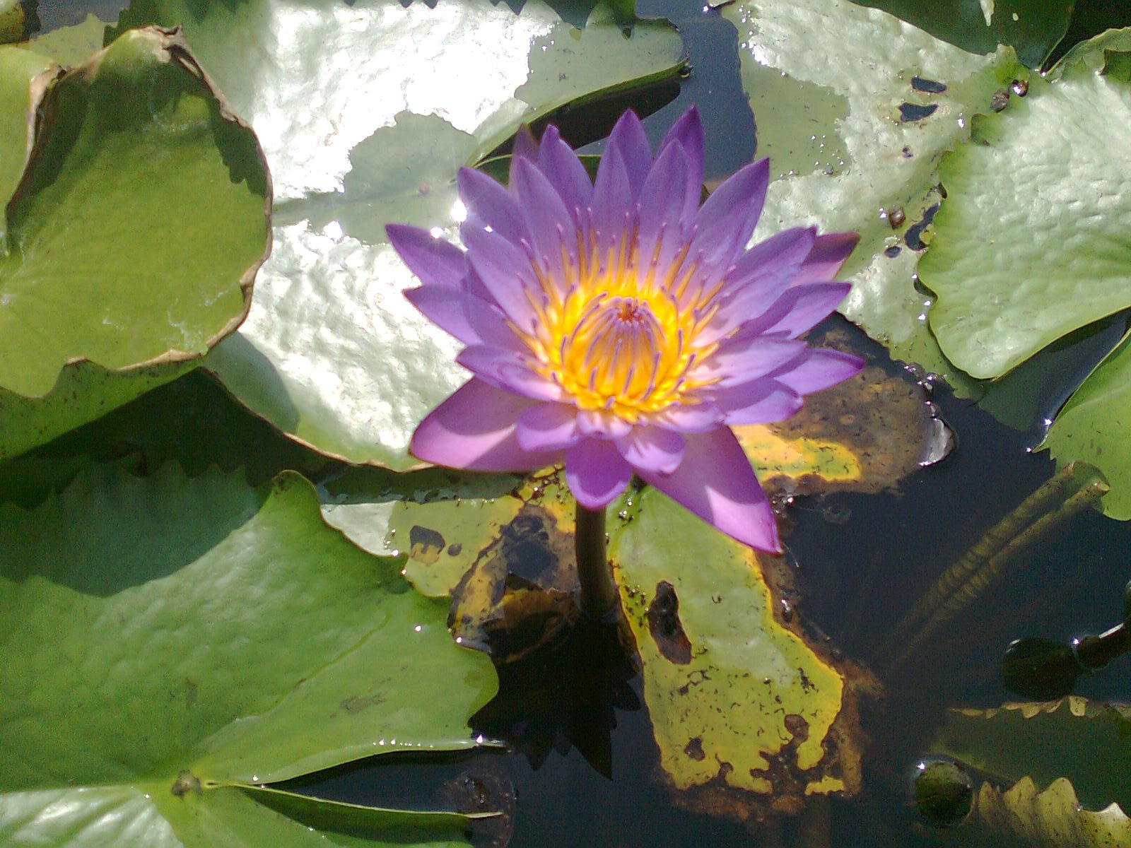 Mobile photography blog beautiful lily flower in pond beautiful lily flower in pond izmirmasajfo
