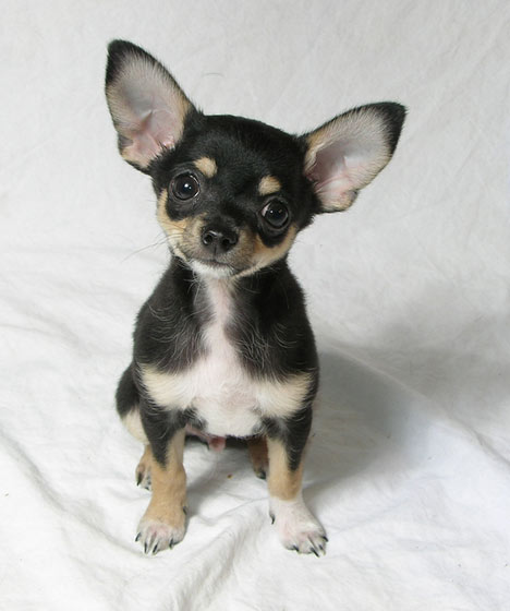 Chihuahua Puppy Pictures and Information | Puppy Pictures ...