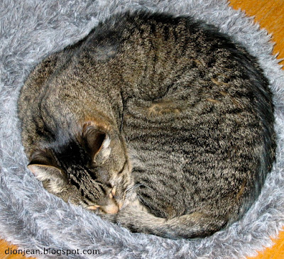 Eamon the brown tabby all curled up on his grey bed