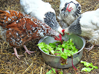 chickens farm life