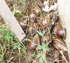 El blog del jard n caracoles y gusanos afectan especies for Caracol de jardin