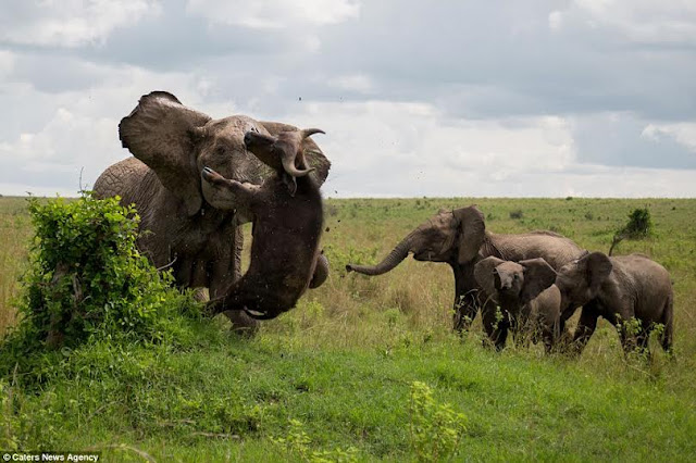 Elephant vs Buffalo - No Grass Suffered Here