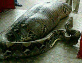 GIGANTIC SNAKE SWALLOWS WOMAN IN SOUTH AFRICA (SEE PHOTOS)