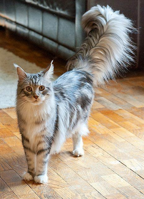 Top 5 Most Popular Cat Breeds