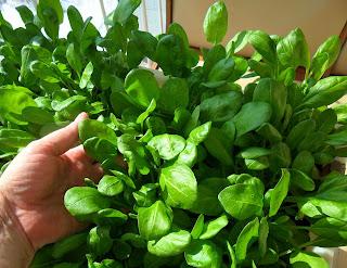 Зелень шпината подоспела