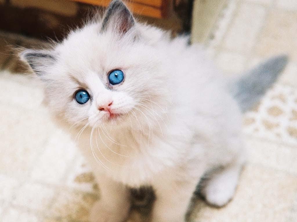 100  Wallpaper Kucing Lucu dan Comel Kualitas HD  Kucing Anggora, Persia, Maine Coon