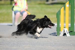 "Bordercollie Decathlete's Raptor ""Erre"""