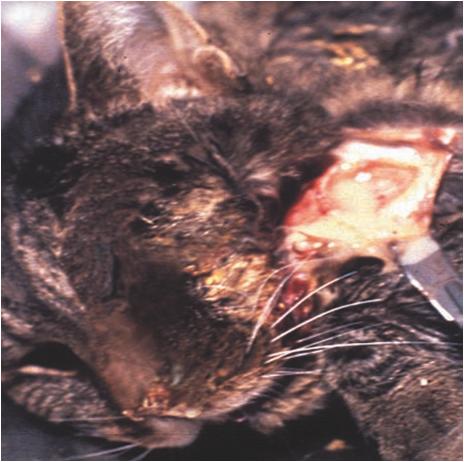 Hình 5: Viêm hạch dưới hàm ở mèo