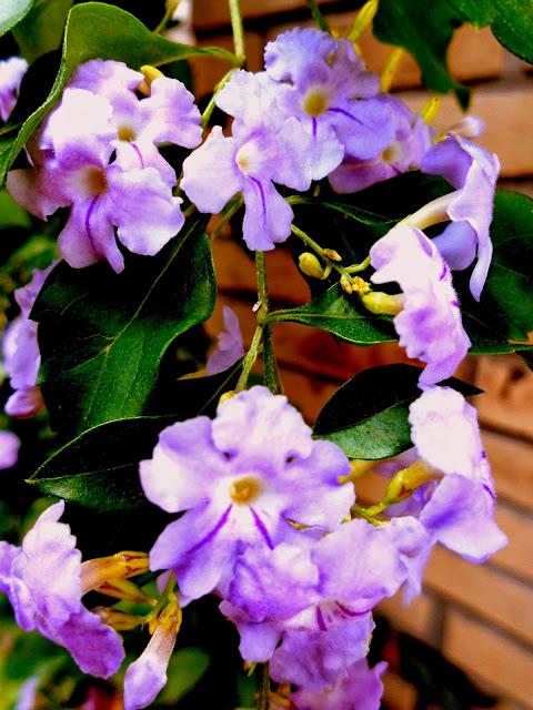 Flores de Duranta o Grano de Oro