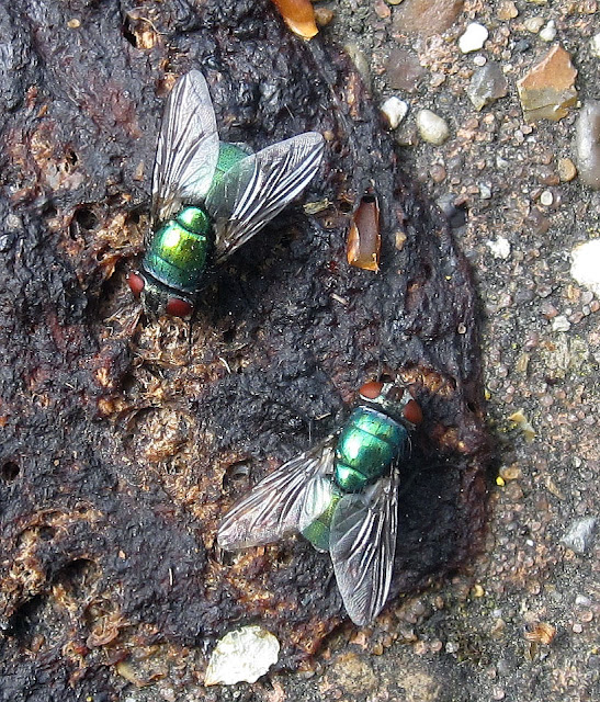 Common greenbottle fly, Lucilia sericata, in Hayes. 26 April 2011.