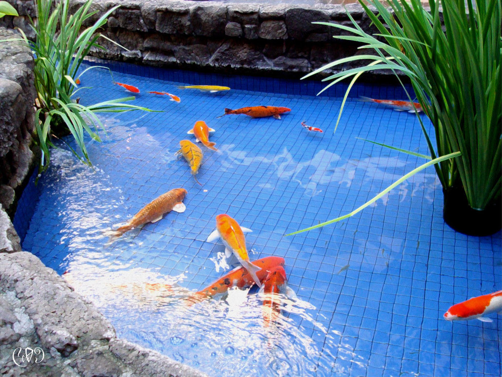Koi pond garden landscape design for Popular pond fish