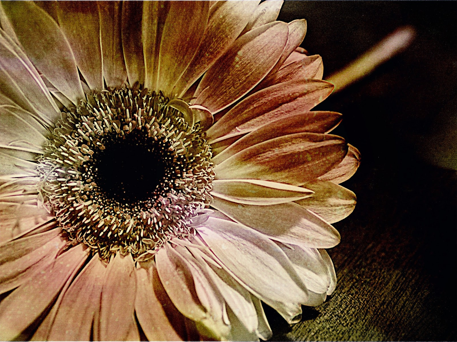 textured yellow gerbera daisy - the emily files 133/365