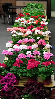 blooming geraniums at 2011 Plant Sale of Canadian Geranium and Pelargonium Society