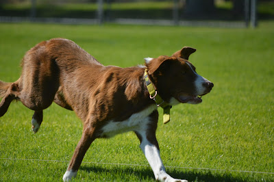 stupid lure coursing pictures