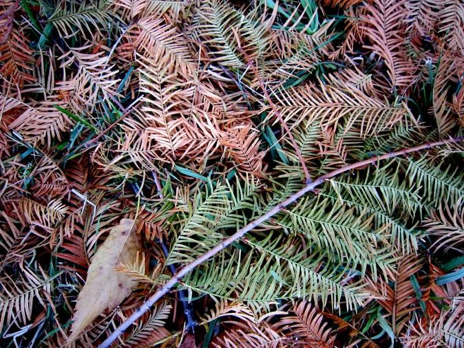 アケボノスギの落葉