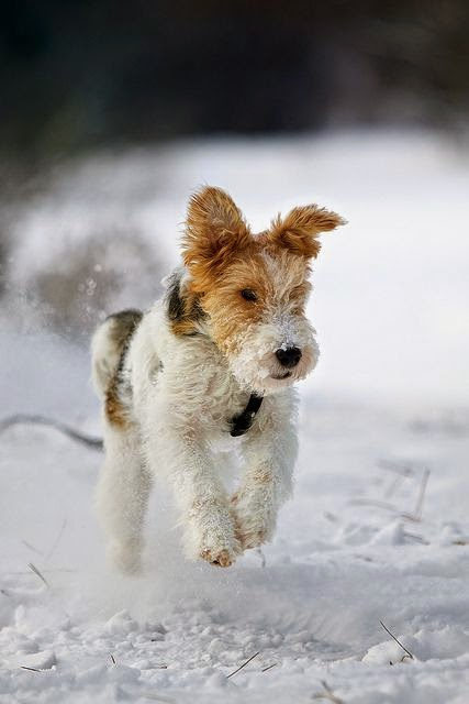 Cute Best Wired hair fox terrier in Snow