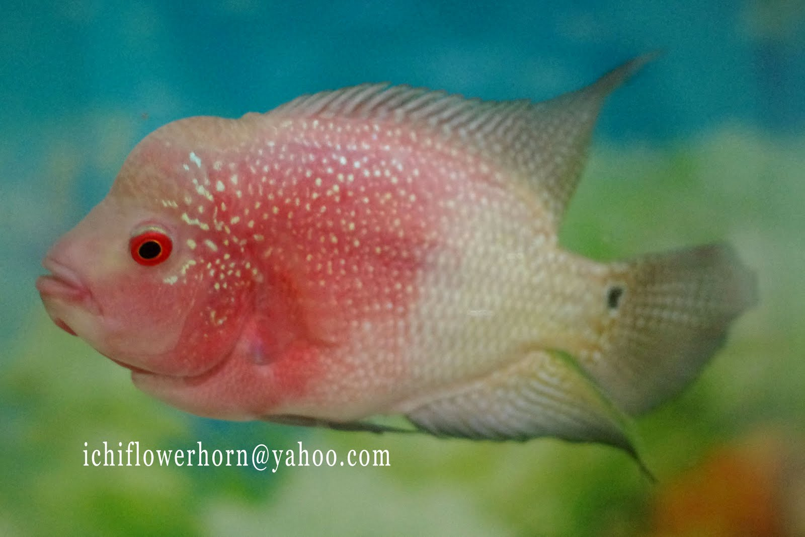flowerhorn breeding hybrid - HD 1600×1067