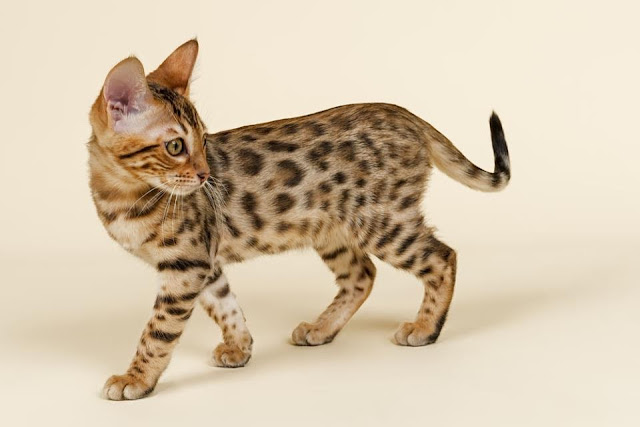 Small little domestic kitten