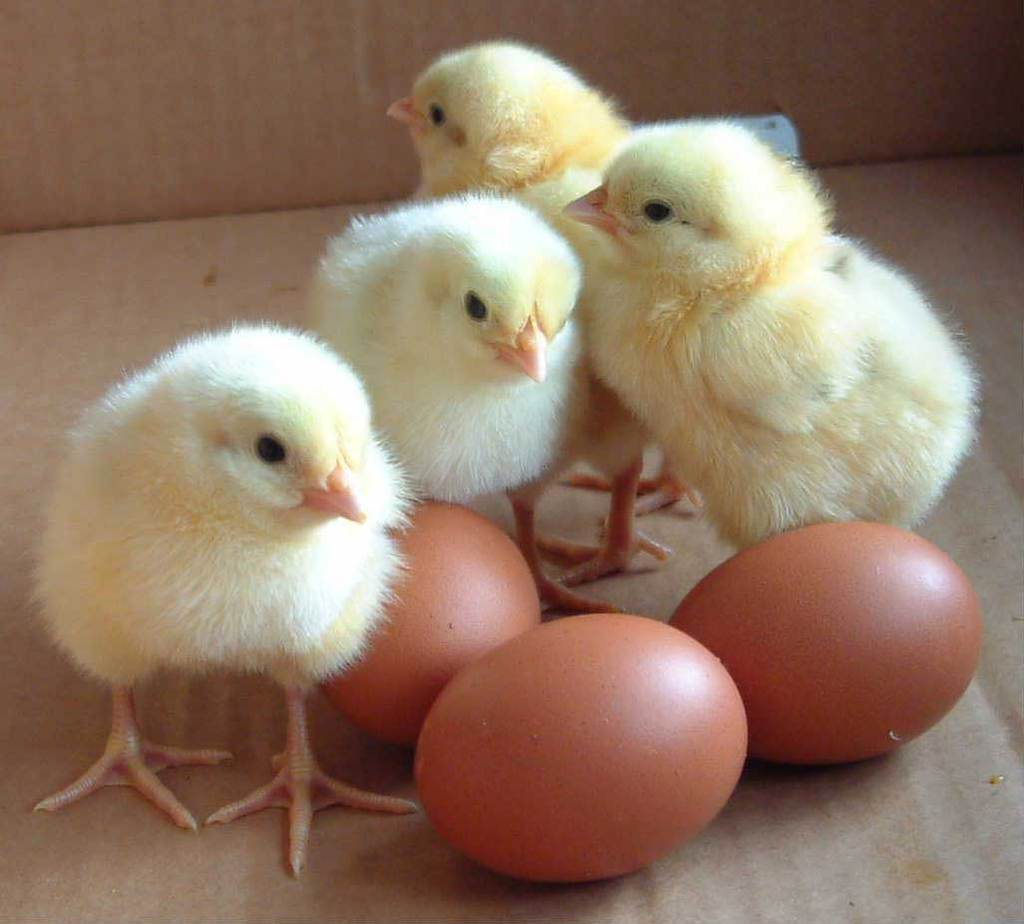 Quotes About Baby Chicks. QuotesGram