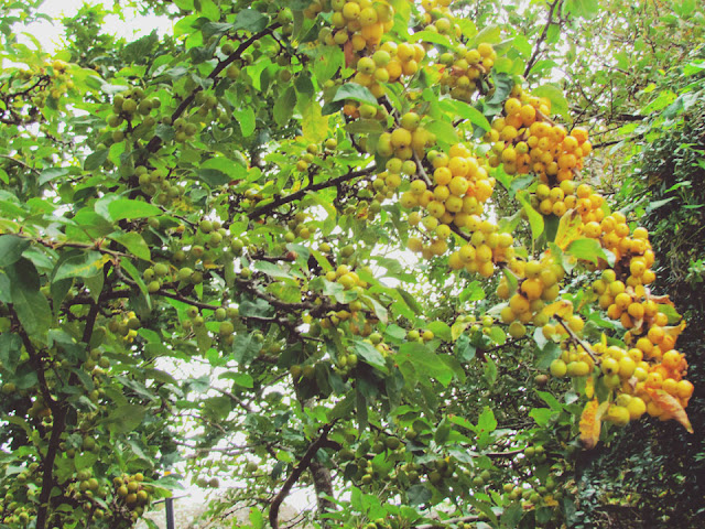 yellow crab apples