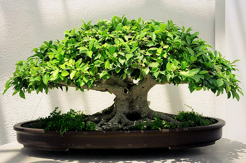 ficus bonsai care the ancient art of bonsai. Black Bedroom Furniture Sets. Home Design Ideas