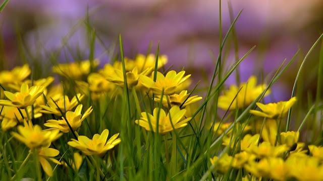 Yellow Flowers Field Background HD Wallpaper