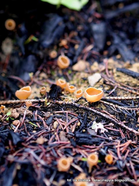 garstnica wypaleniskowa , prosto z lasu , las , grzybobranie , na grzyby , atlas grzybów , orawa , grzyby orawy , poznaj nowe gatunki , grzyby gatunkami
