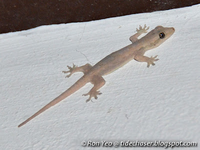 Four-clawed Gecko (Gehyra mutilata)