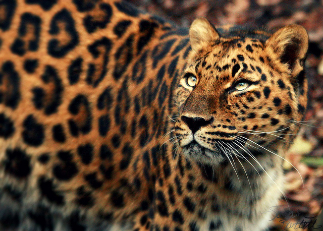 Save The Wildlife The Rawr Facts Amur Leopards
