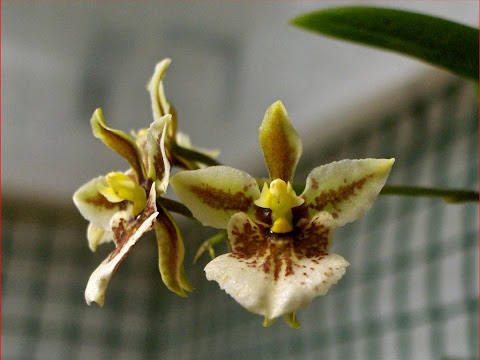 Tolumnia triquetra, orchid species on flowering, flowers detail
