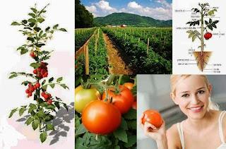 টমেটো চাষ পদ্ধতি, Growing Tomato's