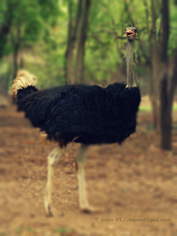 giant male ostritch surprised to see me