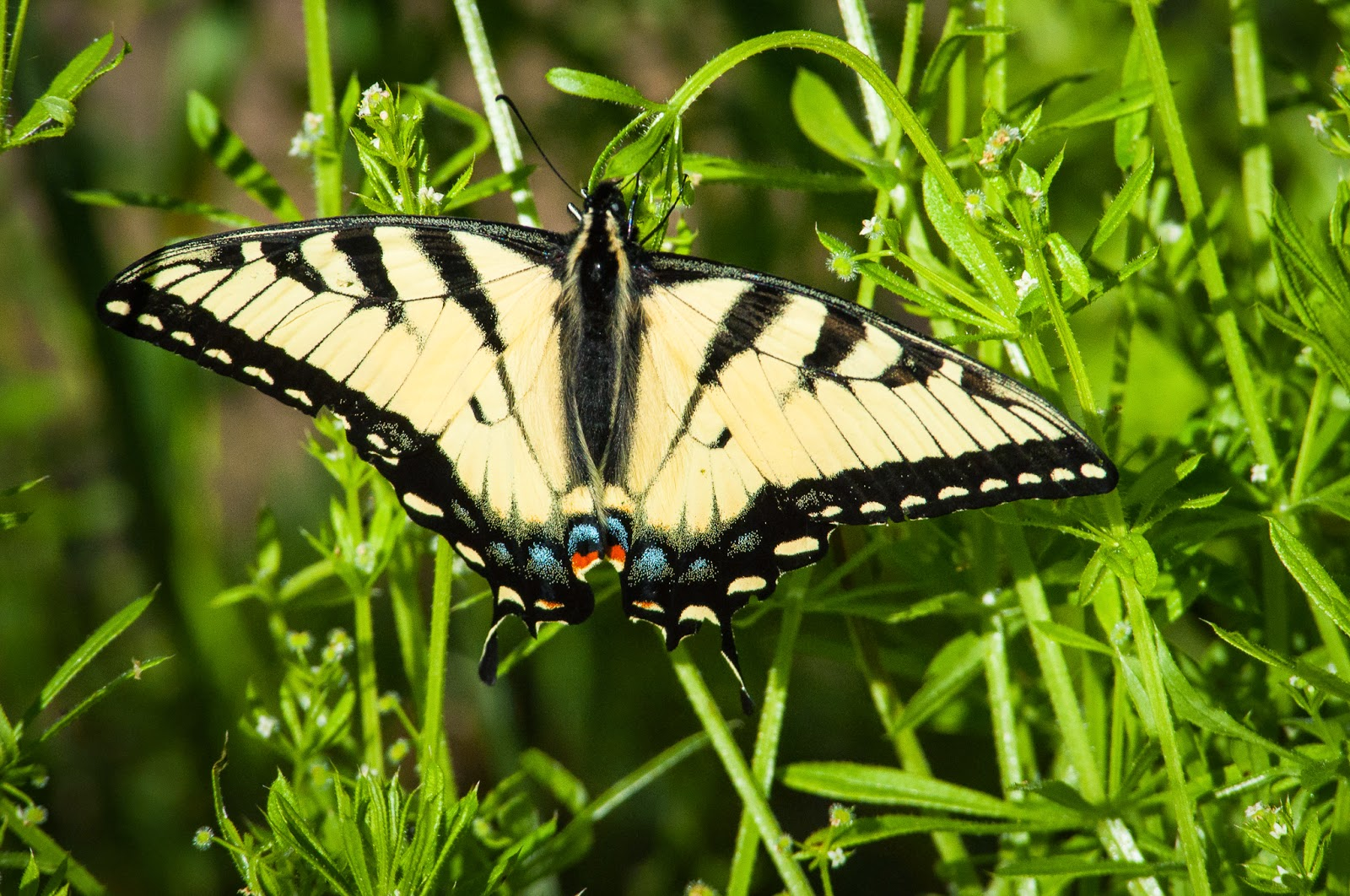 Eastern Tiger Swallowtail, Texas Buckeye Trail