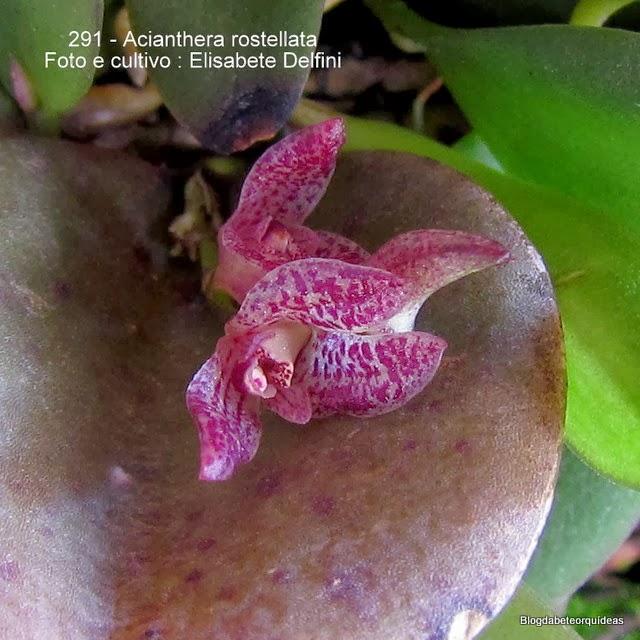 Pleurothallis rostellata, Acianthera enianthera