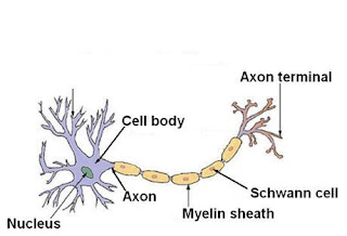 nerve cell specialization and adaptations If there was no cellular specialization, every cell in your body would be the same   nerve cells are responsible for the rapid conduction of messages.